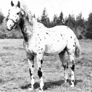 foundation_appaloosa_stallion_toby_ii_patchy